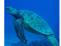 Hawaii Scuba Green Sea turtles